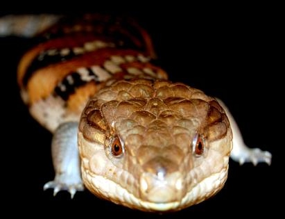 How do you care for a blue-tongued skink?
