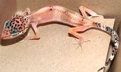 Cryptosporidiosis | Arizona Exotics | -Lizards Resources