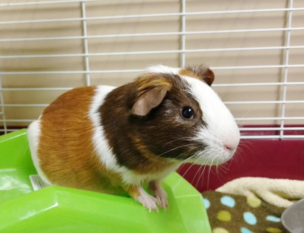Guinea Pigs Arizona Exotic Animal Hospital Medical And Care