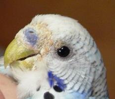 Common Problems in Parakeets | Arizona Exotics | -Parakeets
