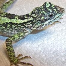 Basic Care Neon Tree Dragon Arizona Exotics Lizards Resources