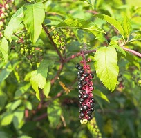Pokeweed, a common poisonous weed