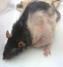 Tumors, Abscesses, Cysts | Arizona Exotics | -Rats Resources