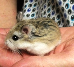 Hamster Basic Info | Arizona Exotics | -Hamsters Resources