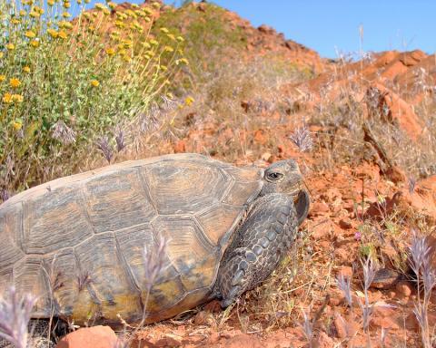 desert tortoise hibernation