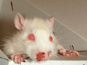 how to help mice with respiratory infection