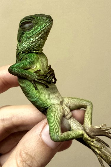 Basic Care: Water Dragon | Arizona Exotics | Lizards Resources