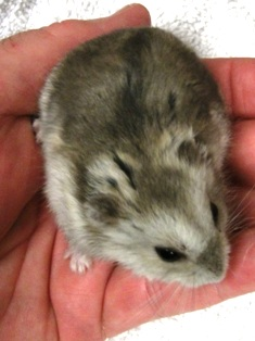 Hamster Basic Info | Arizona Exotics | -Hamsters Resources